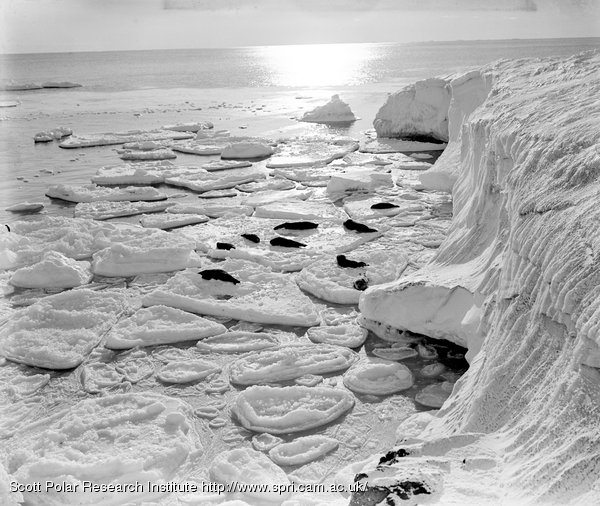 Seals basking on new pancake floe off Cape Evans. March 7th 1911