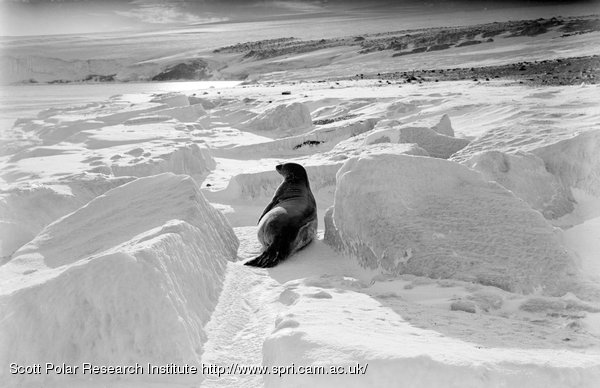 A Weddell seal at Cape Evans. March 26th 1911