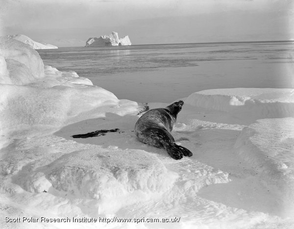 A Weddell seal on West Beach. March 26th 1911