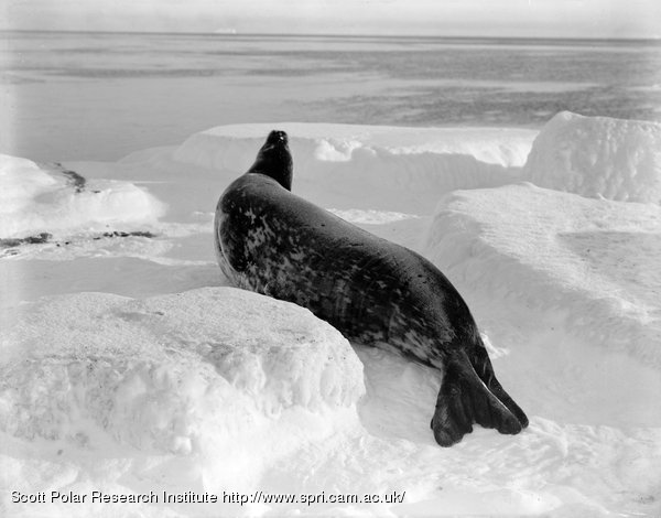 A Weddell seal at Cape Evans, March 26th 1911