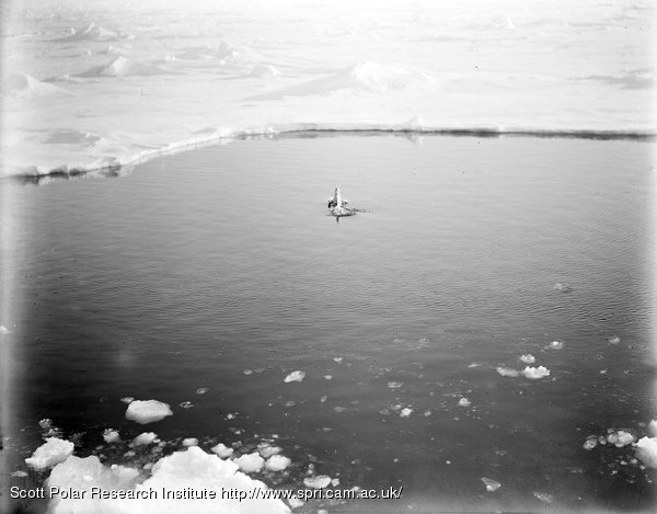 An Adelie penguin leaping out of the water. Dec 28th 1910