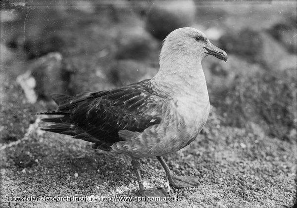 A skua gull. Jan. 6th 1911.