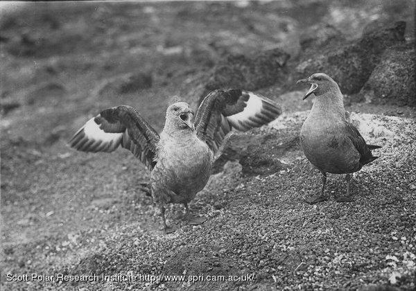 Skua gulls, male and female. Jan. 6th 1911.