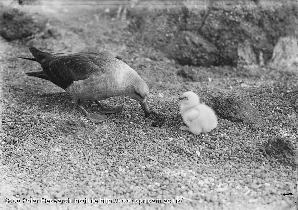 Skua gull bringing food to chick. Jan. 6th 1911.