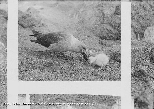 Skua gull feeding chick, disgorging. Jan. 6th 1911.