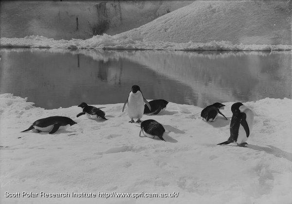 Penguins resting. Jan. 7th 1911.