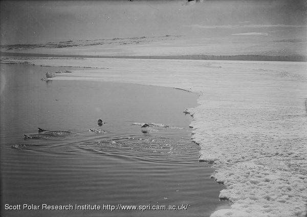 """Adelie penguins """"porpoising"""". Jan. 15th 1911."""