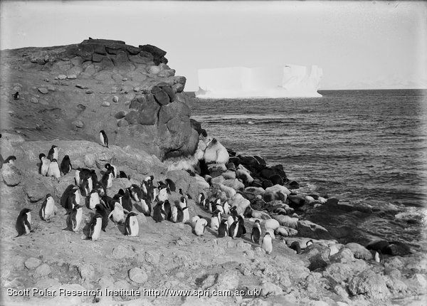 A corner of the Penguinry at Cape Royds. Feb. 13th 1911.