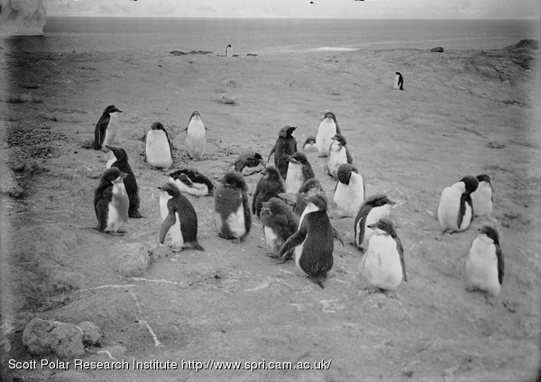 Group of young penguins. Cape Royds. Feb. 14th 1911.