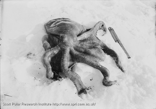 The Squid found by Ponting and captured by him and Lashly at Cape Royds. Feb. 16th 1911.