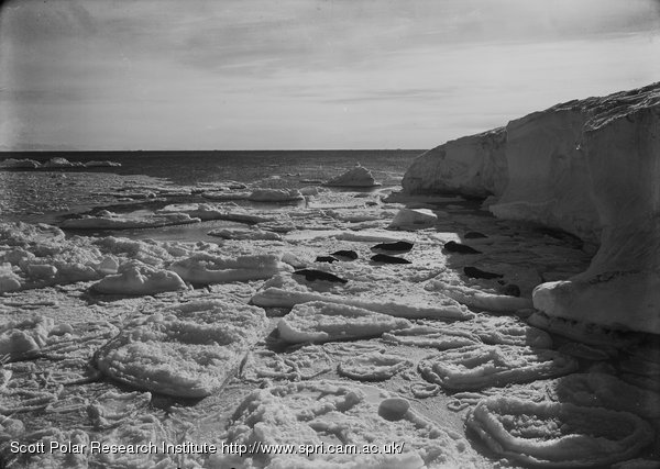 Seals basking on new floe off Cape Evans. March 7th 1911