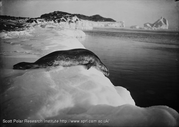 Weddell seal, diving off the ice. Cape Evans. March 15th 1911
