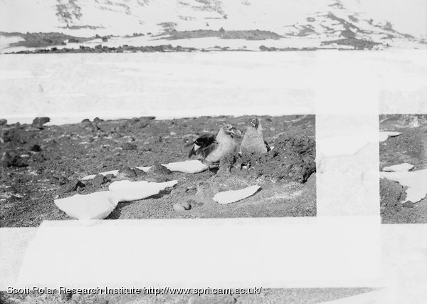 Pair of McCormicks Antarctic Skua Gulls, by nest with eggs. January 5th 1911
